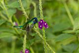Violet-headed Hummingbirdborder=