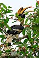 Great Hornbillborder=