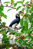 Oriental Pied-Hornbillborder=