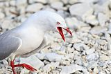 Red-billed Gullborder=