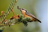 Red-breasted Nuthatchborder=