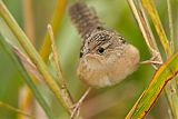 Sedge Wrenborder=