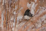 Dark-eyed Juncoborder=