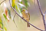 White-plumed Honeyeaterborder=