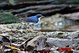 Siberian Blue Robinborder=