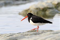 South Island Oystercatcher