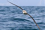 Wandering Albatrossborder=