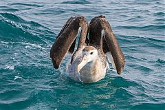 Wandering Albatross