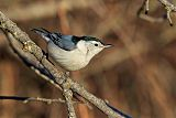 White-breasted Nuthatchborder=