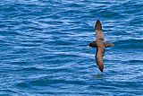 White-chinned Petrelborder=