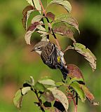 Yellow-rumped Warblerborder=