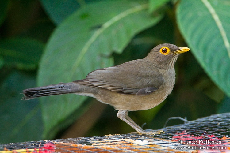 African Bare-eyed Thrush