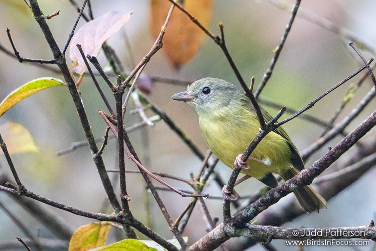 Blue Mountain Vireo