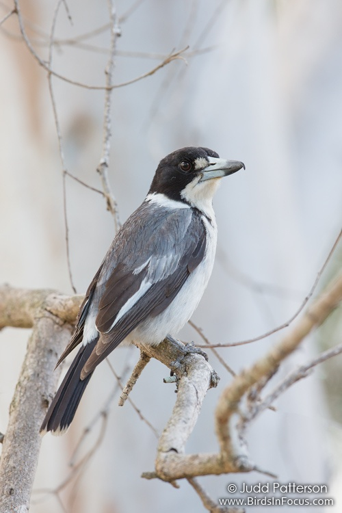 Gray Butcherbird