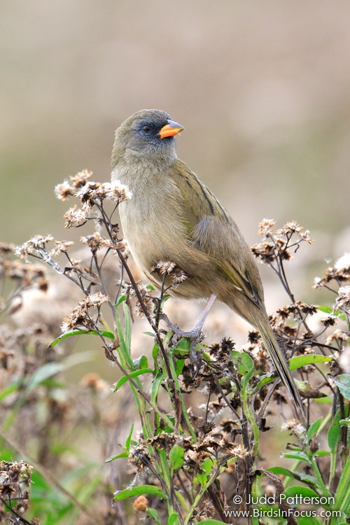 Great Pampa-Finch