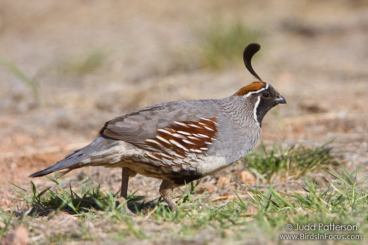 Sex and the single quail