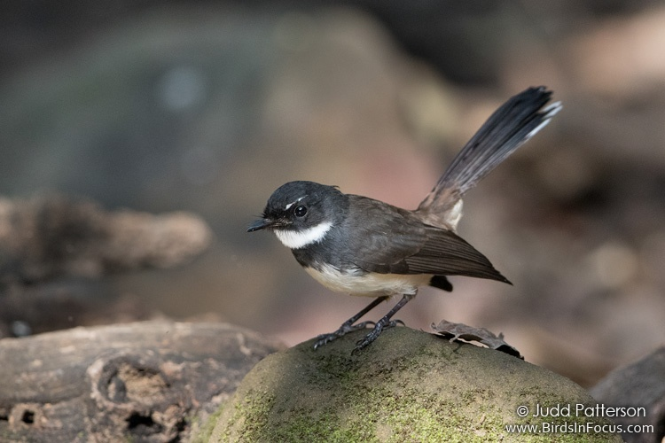 Malaysian Pied-Fantail