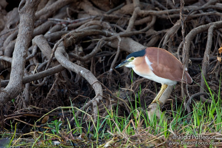Rufous Night-Heron