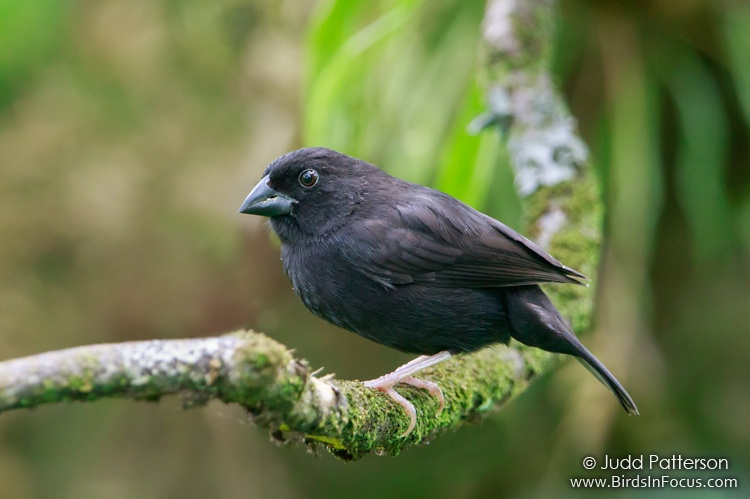 St. Lucia Black Finch