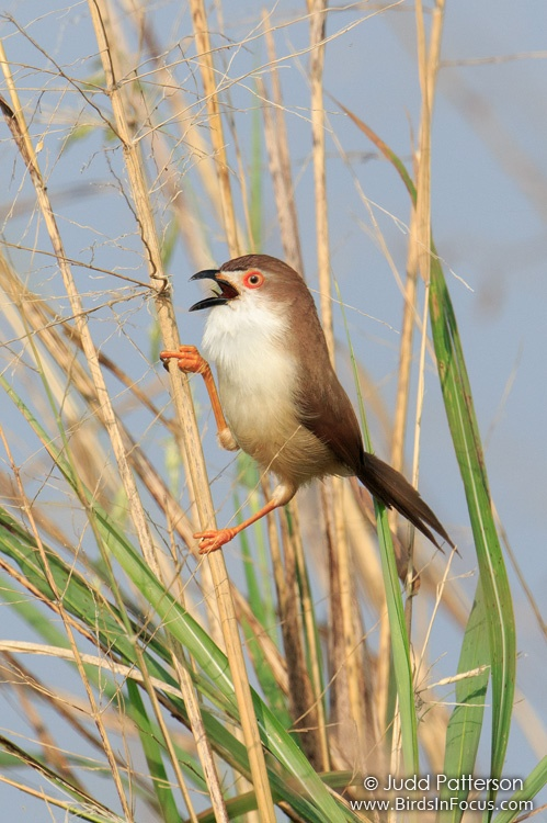 Yellow-eyed Babbler