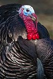 Wild Turkeyborder=