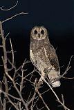 Marsh Owlborder=