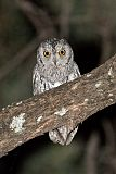 African Scops-Owlborder=