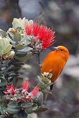 Hawaii Akepa