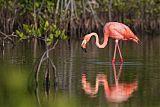 American Flamingoborder=