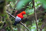 Andean Cock-of-the-rockborder=