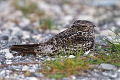 Antillean Nighthawk