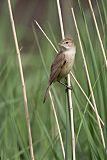 Australian Reed Warblerborder=