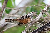 Band-backed Wren