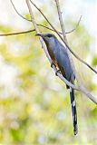 Bay-breasted Cuckoo
