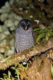 Black-banded Owlborder=