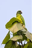 Black-billed Parrotborder=