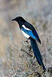 Black-billed Magpieborder=