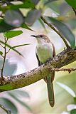 Black-billed Cuckooborder=