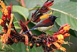 Black-throated Sunbirdborder=