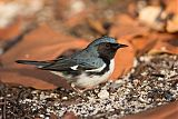 Black-throated Blue Warblerborder=