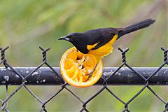 Black-vented Oriole