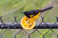 Black-vented Oriole