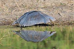 Black Heron