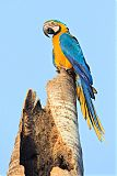 Blue-and-yellow Macawborder=