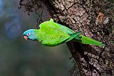 Blue-crowned Parakeetborder=
