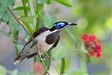 Blue-faced Honeyeaterborder=