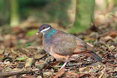 Bridled Quail-Dove