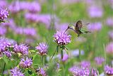 Broad-tailed Hummingbirdborder=