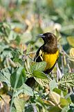 Brown-and-yellow Marshbirdborder=