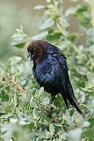 Brown-headed Cowbirdborder=
